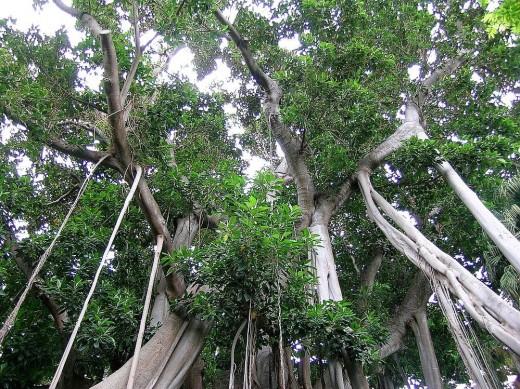 Ficus perfectamente apuntalado.