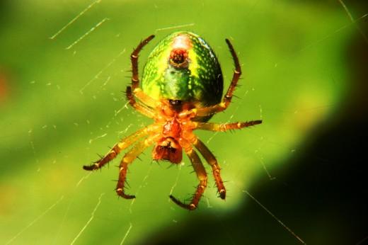 Macro fotografía ventral de una arañita en su tela.