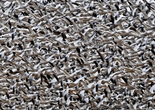 Snow Geese in flight. Kleinfeltersville, Pennsylvania. (© Charles Funk) #