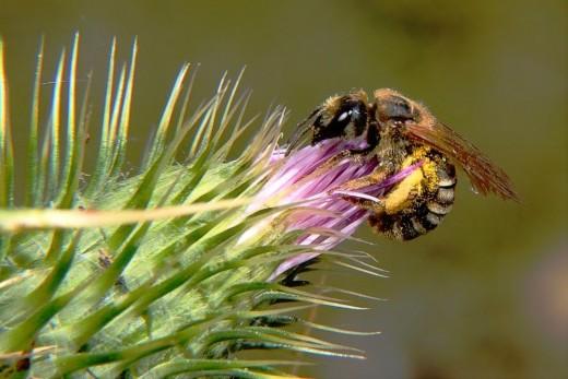 Una abejita trabajando duro para conseguir su néctar y su polen.