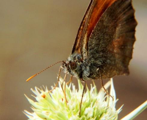 Mariposa libando en una florecilla de cardo.