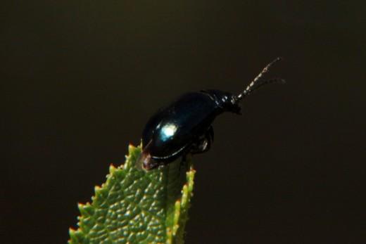 Diminuto escarabajo
