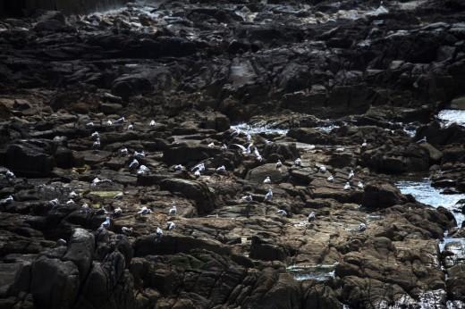 Colonia de gaviotas en un roquedal.