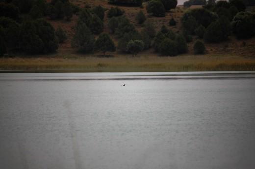 Somormujo lavanco y su cría en una laguna de Ruidera.