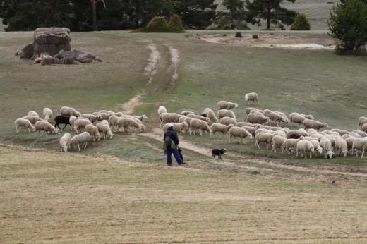 Pastoreando en el Alto Tajo.