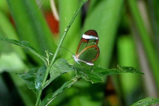Mariposa semitransparente.