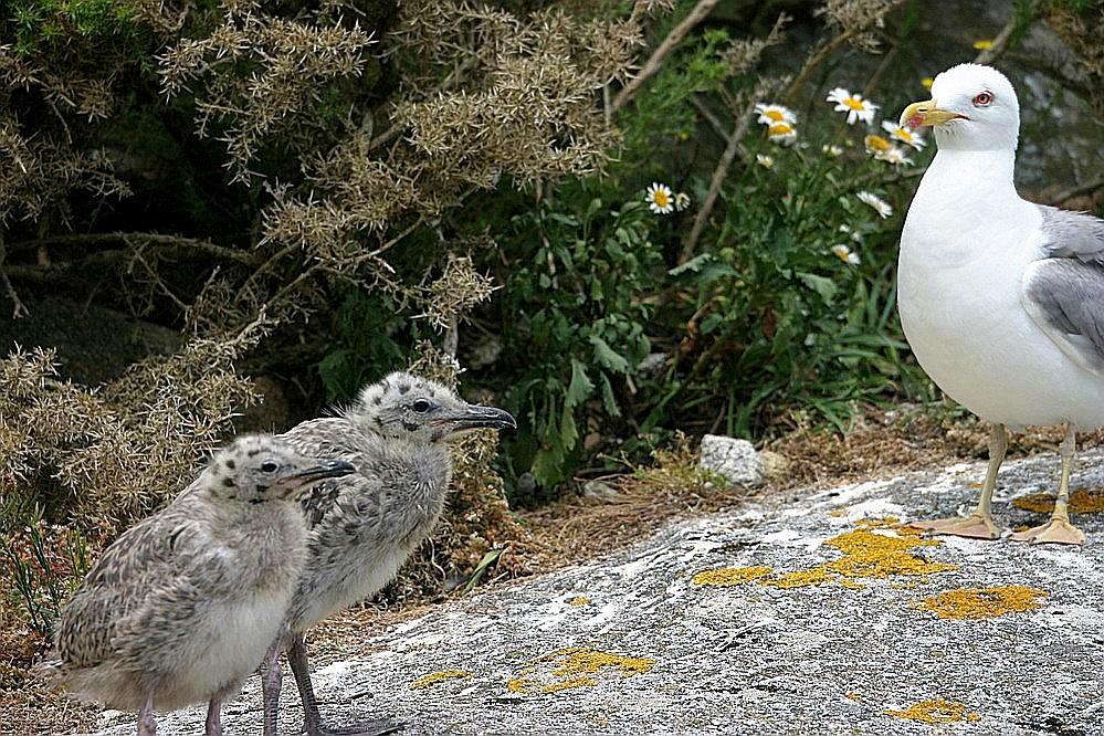 Mama gaviota y sus polluelos