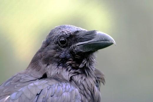 El Cuervo.