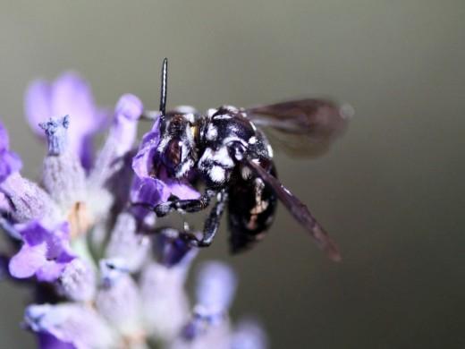 Otro insecto aficionado al néctar de la Lavanda.