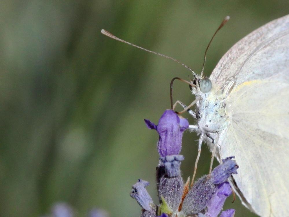 Mariposa libando el néctar.