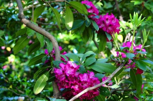 Rhododendron Purple Splendour.