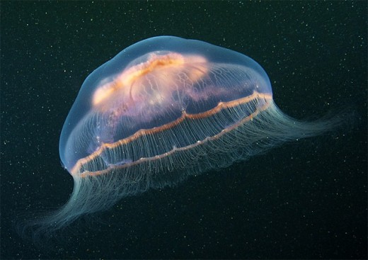 Increíbles fotografías de medusas.