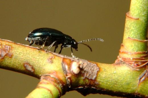 Diminuto escarabajo.