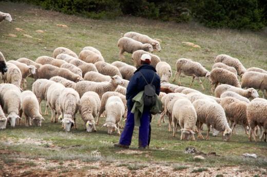 Pastor y sus ovejas en el Alto Tajo.