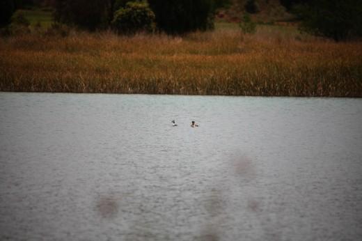 Pareja de Somormujos lavancos en una laguna de Ruidera.