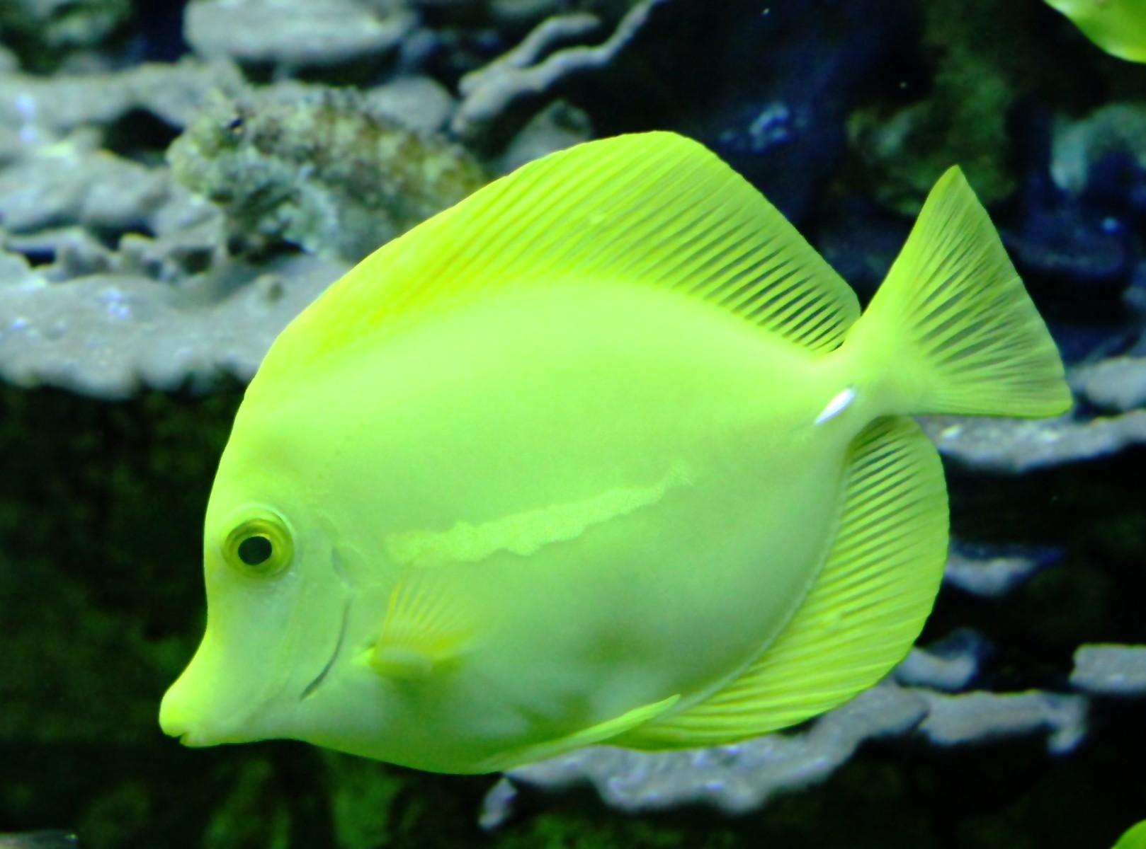 Pez Cirujano amarillo (Zebrasoma flavescens) | Foto-blog de ...