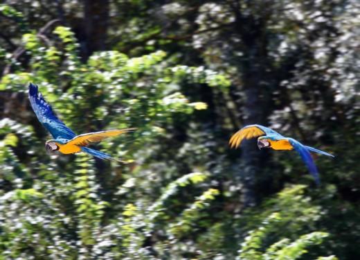 Papagayos volando en pareja