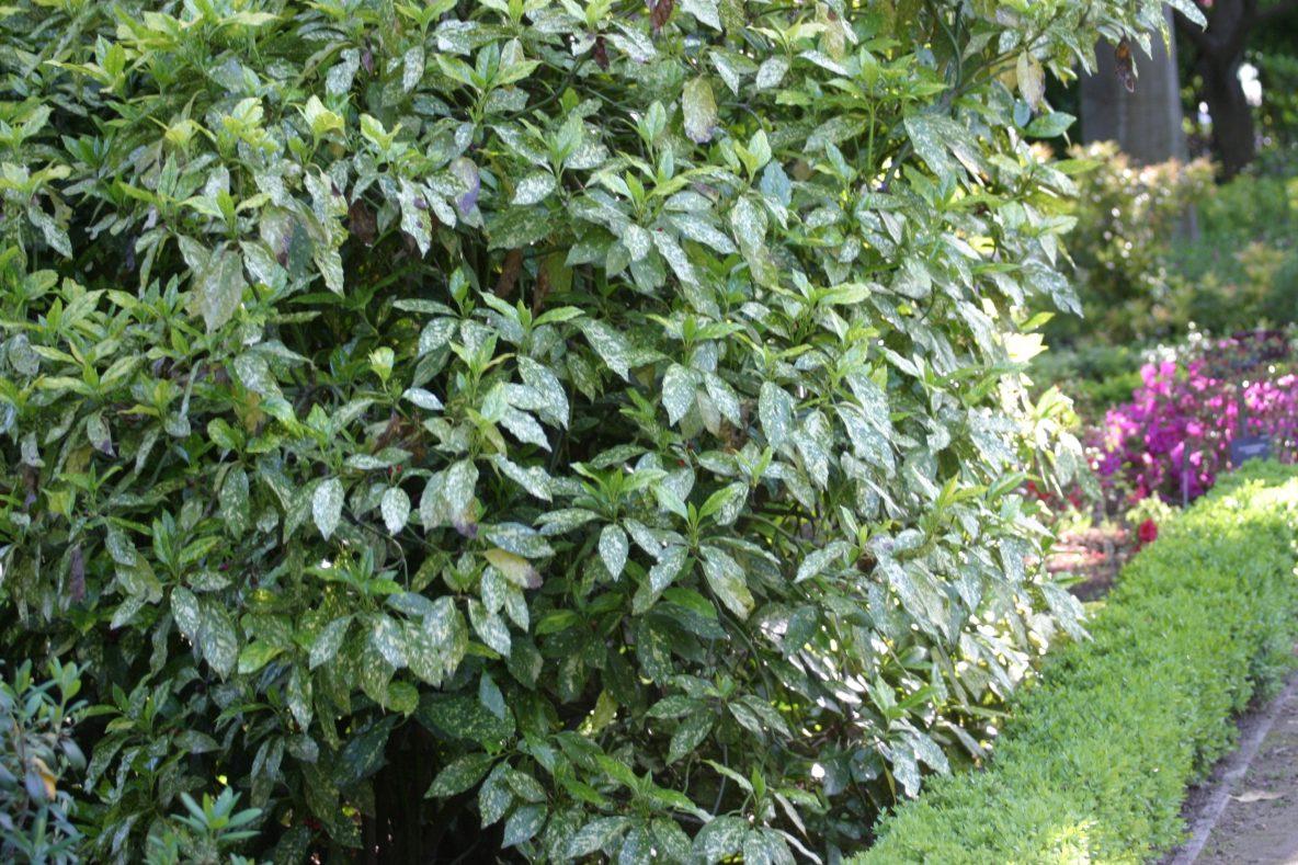 Pin arbusto con hojas y flores de color rosa sobre fondo for Arbustos de hoja perenne para jardin