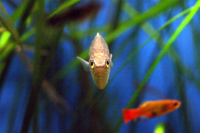 Este pez (Melanotaenia lacustris) se quedó totalmente inmovil varios segundos.